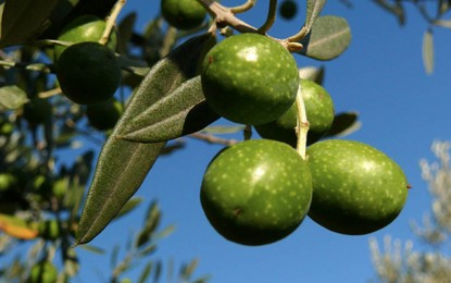 Gabès : Augmentation de 20% de la production d'olives à Mareth