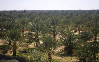 Kébili : Découverte d'un remède contre l'orycte qui s'attaque aux palmiers