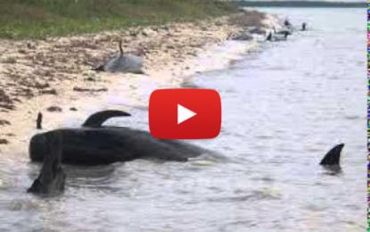 Sauvetage de 4 baleines échouées en Tunisie