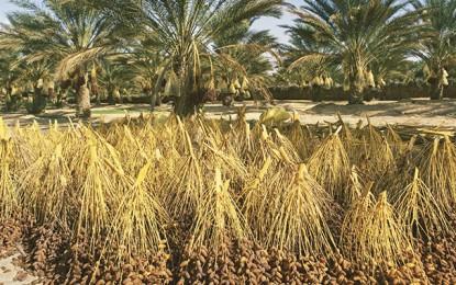 Tunisie : Exportations des dattes biologiques en hausse de 45%