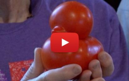 Une tomate qui se prend pour un canard!