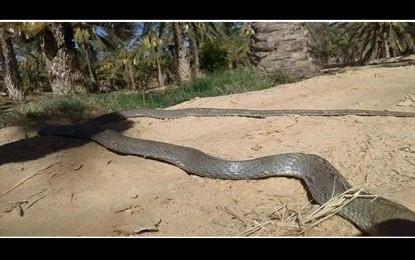Douz : Une vipère de 1,9 m sème la panique à Ghlissia