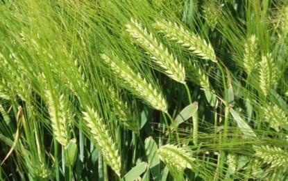 La Tunisie devra importer 3 millions de tonnes de blé et d'orge