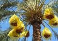 Tunisie : Les exportations de dattes en hausse de 22%