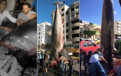 Sousse : Un grand requin blanc vendu à 3000 dinars