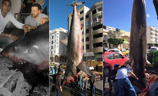requin-blanc-sousse-tunisie