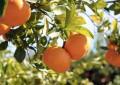 La Tunisie ne peut pas profiter de la crise de l'orange en Europe
