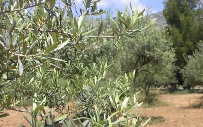 Gabès: La récolte d'olives en baisse de 35%