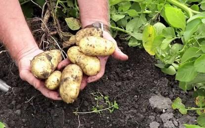 Agriculture : Protestation contre l'importation des pommes de terre