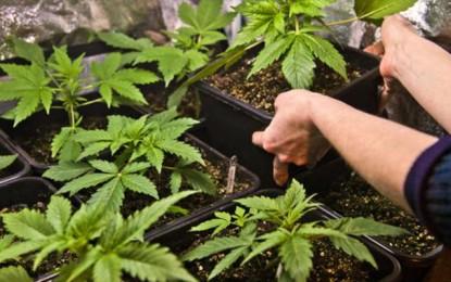 Ils cultivaient de la marijuana dans leur appartement