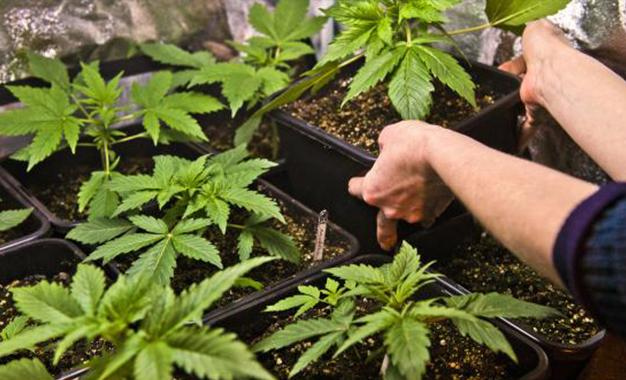 marijuana- culture home