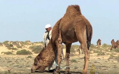Al-Jazeera s'inquiète pour le sort des… chameaux en Tunisie