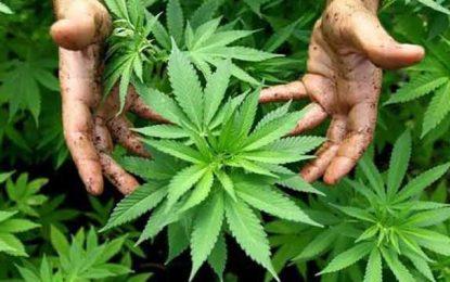 Arrestation d'un cultivateur de cannabis à Menzel Temime