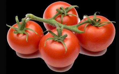 Nabeul : La production de tomates estimée à 300.000 tonnes