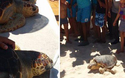 Environnement : Relâche de tortues marines au large de Monastir