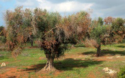 Arboriculture fruitière : La  «lèpre des oliviers» s'invite en Méditerranée