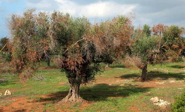Atelier tunis la fao organise la lutte contre une - Maladie de l olivier en pot ...