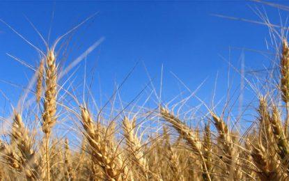 La Tunisie prévoit de réduire ses importations céréalières
