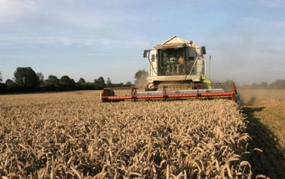 Tunisie : La récolte de céréales atteint 13 millions de quintaux