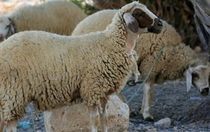Tataouine : Alerte aux moutons libyens non contrôlés