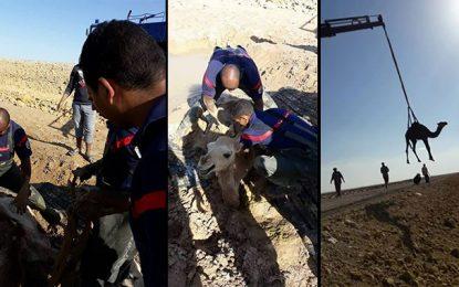 Tozeur : Des pompiers sauvent un chamelon pris dans la boue