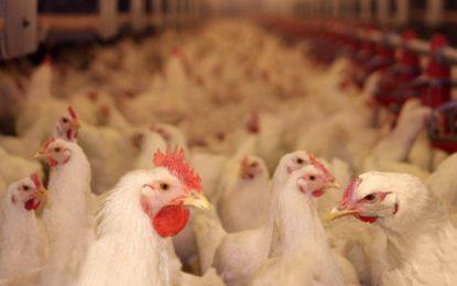 Aviculture: Accord sur l'adoption du système de quotas de production