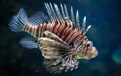 Alerte au poisson-papillon venimeux dans le golfe de Tunis
