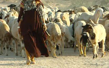 Kasserine : La bergère perdue hier, retrouvée saine et sauve