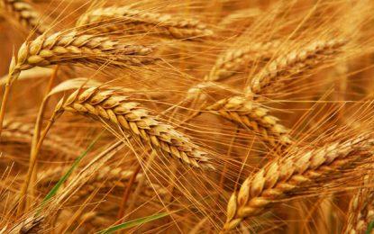 L'Office des céréales étudie les candidatures à son appel d'offres
