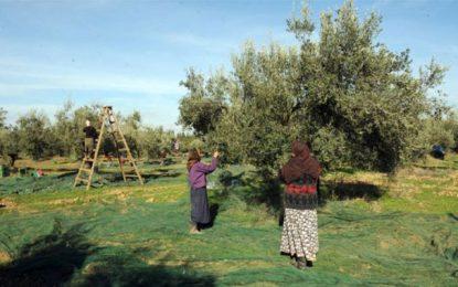 Le Royaume Uni gagnerait à importer directement l'huile d'olive tunisienne