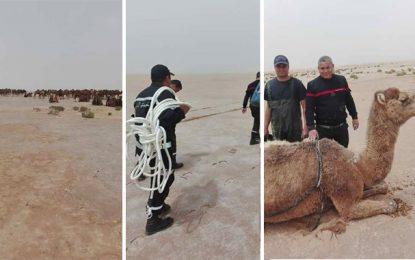 Kebili : Un troupeau de chameaux pris dans une flaque de boue