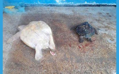 Sfax : Enquête sur un trafic de tortues de mer