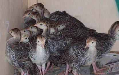 Une filiale de Poulina élève des dindonneaux importés contaminés