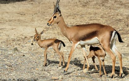 ''Vuelta a Casa'' : Les gazelles reviennent chez elles en Tunisie