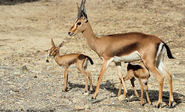 Vuelta a Casa'' : Les gazelles reviennent chez elles en Tunisie ...
