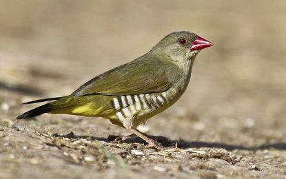Gabès : 2000 oiseaux de Bengali sauvés des griffes de trafiquants