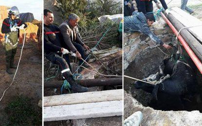 Nabeul : Sauvetage d'une vache tombée dans un puits