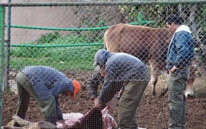Abattage d'un taureau au zoo du Belvédère : La direction explique