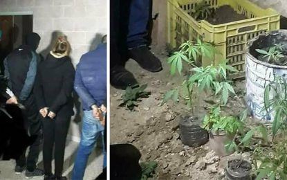 M'saken : Une famille arrêtée pour avoir planté de la marijuana à la maison