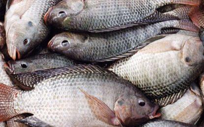 Sidi Bouzid : Lancement d'un élevage du «poulet aquatique»