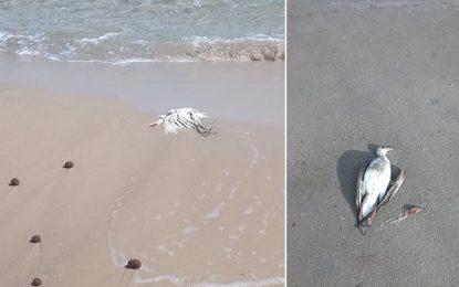 Environnement : Mortalité inexpliquée d'albatros à Nabeul