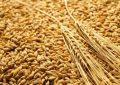 La Tunisie se procure 100.000 tonnes de blé dur