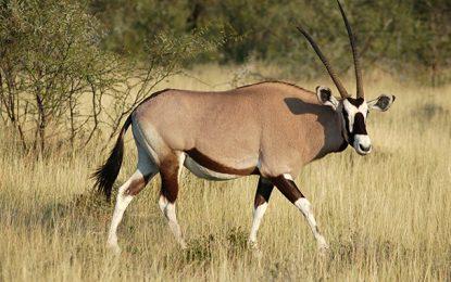 Tataouine : Un oryx algazelle, espèce en voie de disparition, abattu par des inconnus