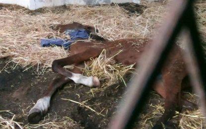 Ariana : Un cheval malade à l'abandon au parc Ennahli