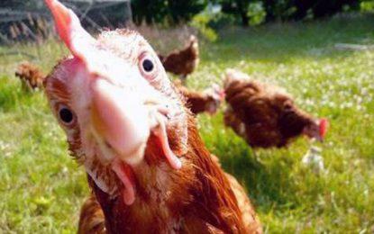 Nabeul : Mise en quarantaine de 5.235 poules atteintes de salmonelle