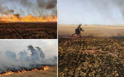 Jendouba : Un incendie ravage 150 Ha de blé et d'oliviers
