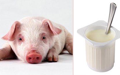 Tunisie : Pas de gélatine porcine dans les produits laitiers