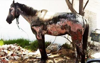 La Goulette : Appel à sauver un cheval brûlé, otage de son maître
