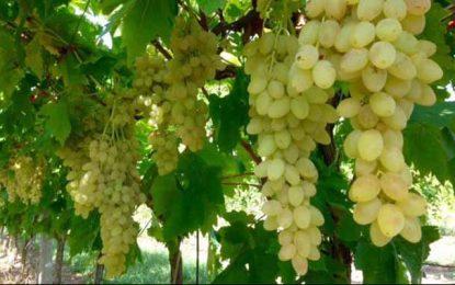 Tunisie : Hausse de 5% de la production des raisins (30 juin 2018)