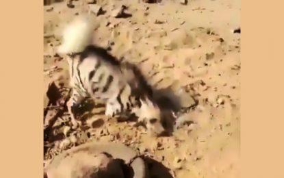 Espèce protégée : Appel à sauver une hyène piégée à Tataouine